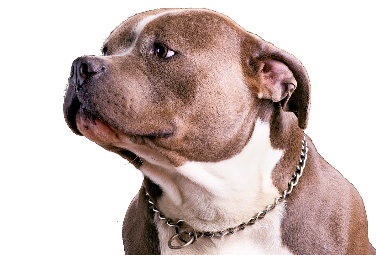The American Bully breed was designed with one goal - to ...