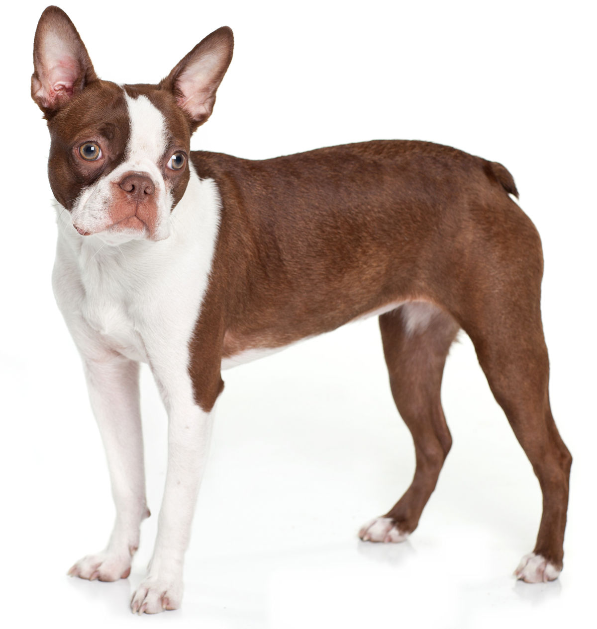 The Boston Terrier Has Inherited Many