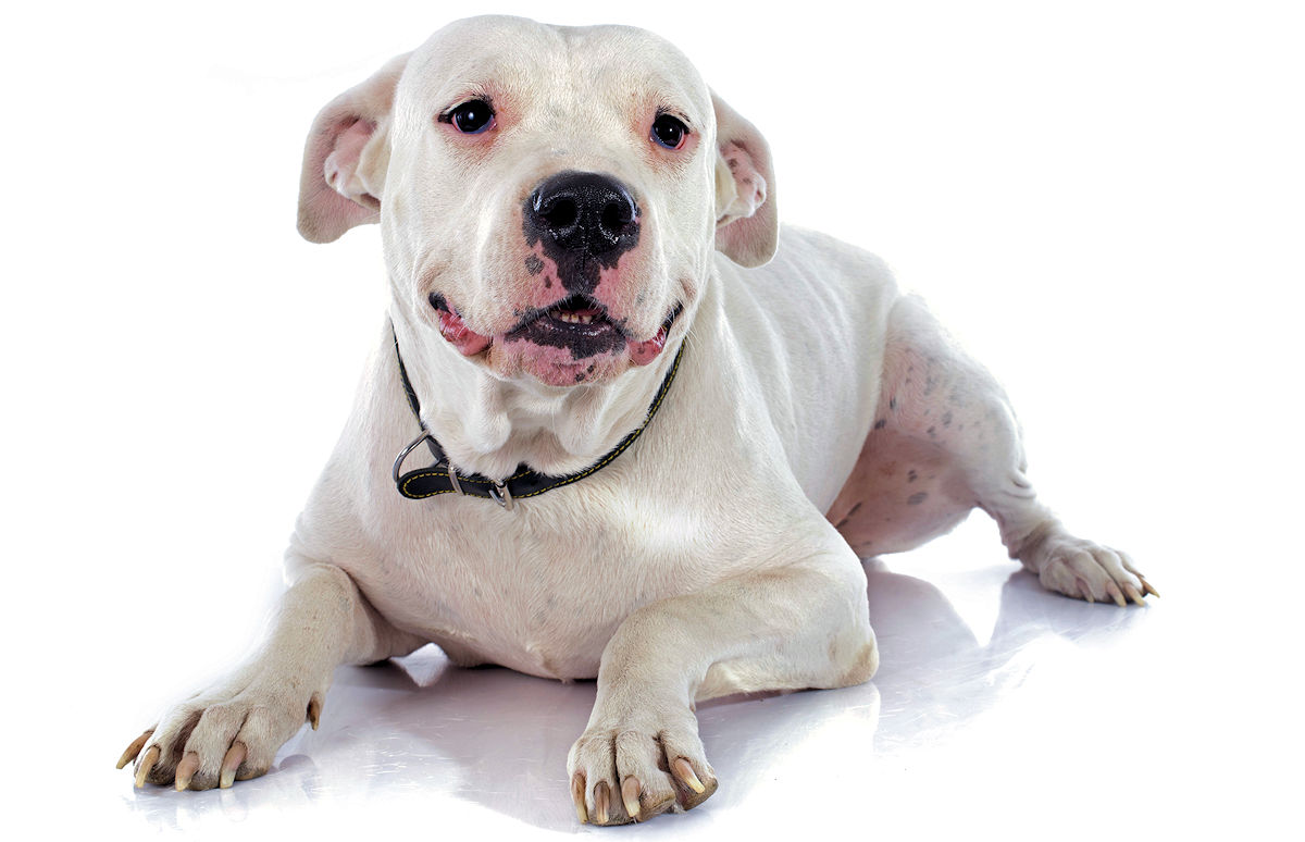 Best Dog Food For Dogo Argentino