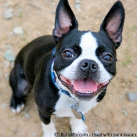 black-and-white-boston-terrier-smiling-licensed