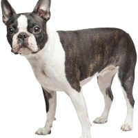 boston-terrier-cute-dogs