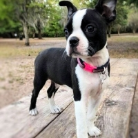 boston-terrier-on-a-table-outside-licensed