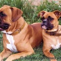 boxer-dogs1