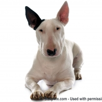 bull-terrier-dog-bully-breeds