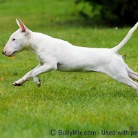 bullterrier-jumping-white-dog-licensed