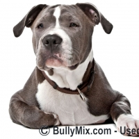 bullymix-main-dog