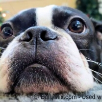 closeup-boston-terrier-face-whiskers-licensed