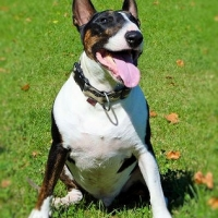 cute-bull-terrier-mini-licensed