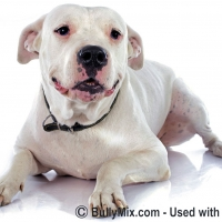 dogo-argentino-dogs