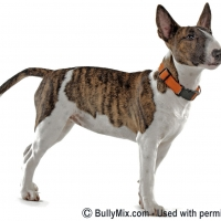 miniature-bull-terrier-dogs