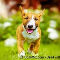 miniature-bull-terrier-puppy-licensed