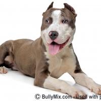 staffordshire-american-bulldogs