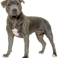 staffordshire-bull-terrier-licensed