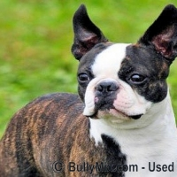 the-boston-terrier-dog-breed-champion-licensed