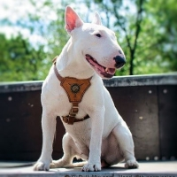 white-miniature-bullie-terrier-licensed