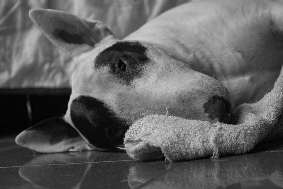 bull terrier, dog, black and white