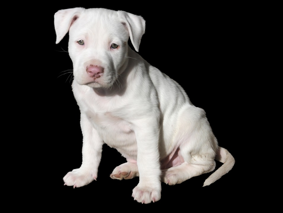 cute, white, puppy