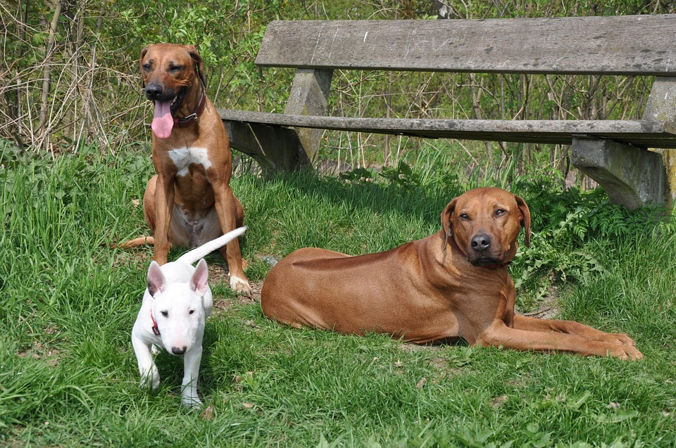 dogs, animals, bull terrier