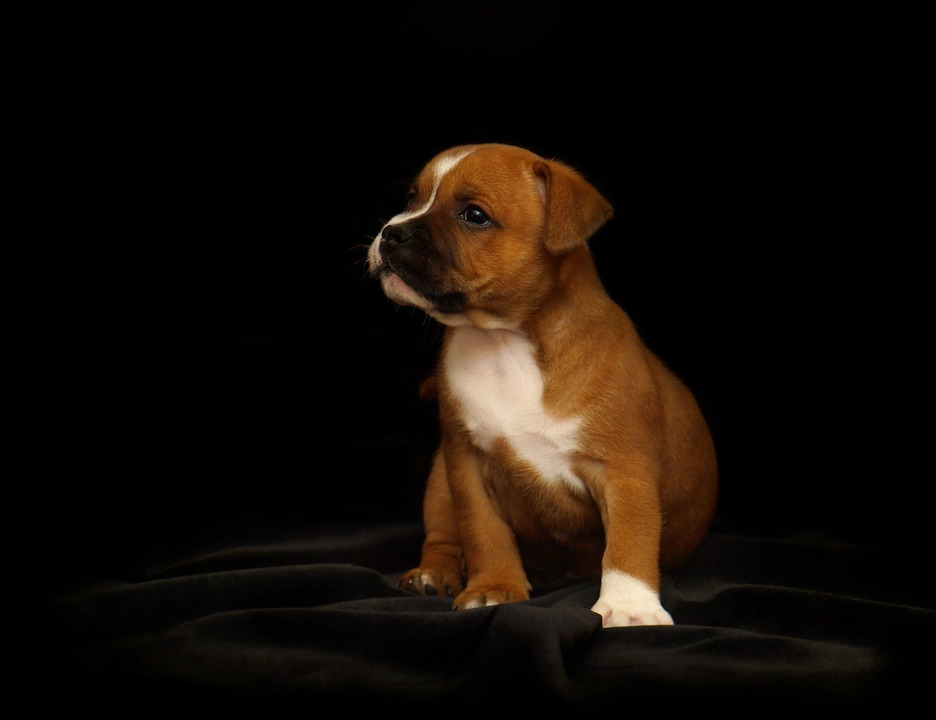 puppy, staffordshire bull terrier, dog