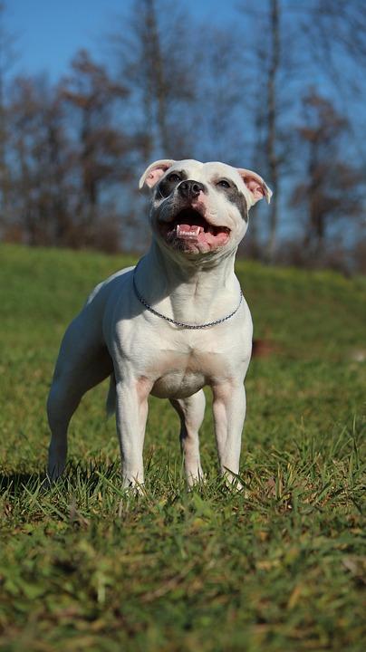 staffordshire bull terrier, white staffordshire bull terrier, blue staffordshire bull terrier