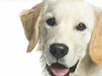 Golden Retriever Training & Breed Overview: How to Understand & Train your Golden, by using Positive Modern Techniques