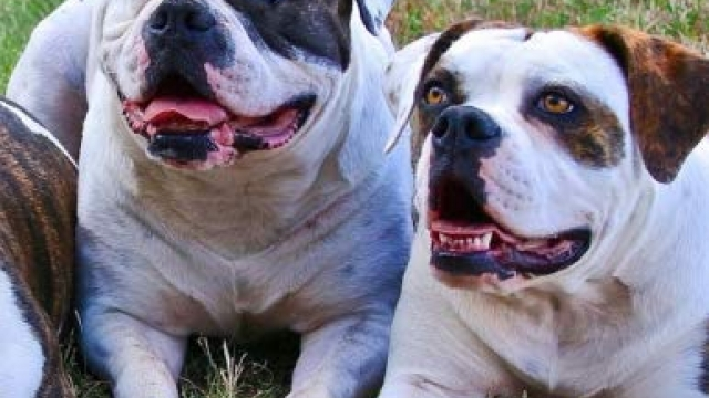2019 Calendar American Bulldog: Dog weekly calendar, personal contacts list, password log, notes and to do list Reviews