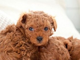Toy Poodle Training Guide Toy Poodle Training Includes: Toy Poodle Tricks, Socializing, Housetraining, Agility, Obedience, Behavioral Training and More