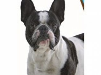 Healthy Breeds 1063-frbu-001 French Bulldog Bright Whitening Shampoo, One Size/12 oz